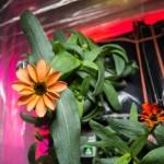 2016.1.20:国際宇宙ステーションで咲いた最初の花
